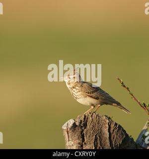 Crested lark (Galerida cristata), northern Bulgaria, Bulgaria, Europe - Stock Photo