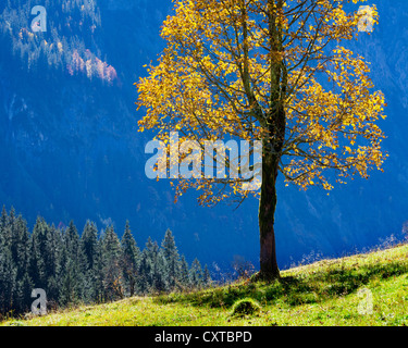AT - TYROL: Single Maple Tree at Grosser Ahornboden in the Eng Valley - Stock Photo