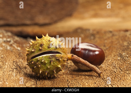 Two Horse chestnuts on barks background as close up view - Stock Photo