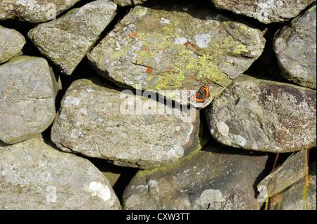 Small Tortoiseshell butterfly (Aglais urticae) - Stock Photo