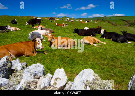 Cows grazing in Devon countryside under a beautiful blue sky - Stock Photo