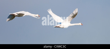 Pair of Mute Swans (Cygnus olor) in flight - Stock Photo