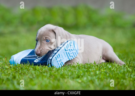 Weimaraner dog, puppy, playing with a rubber boot, North Tyrol, Austria, Europe - Stock Photo