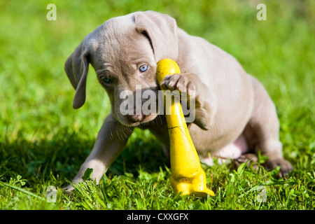 Weimaraner dog, puppy, playing with a rubber duck, North Tyrol, Austria, Europe - Stock Photo