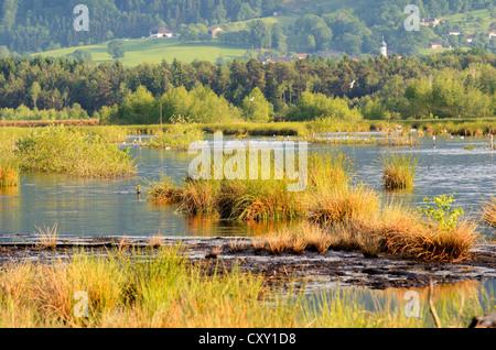 Renaturated, waterlogged peat bog, Stammbeckenmoor Rosenheim basin bog area, prealpine lands, Nicklheim, Bavaria, - Stock Photo