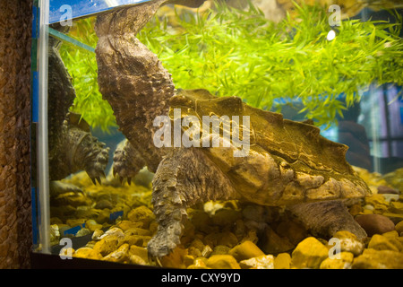 Runge Conservation Nature Center - Alligator Snapping Turtle - Macrochelys temminckii - Stock Photo