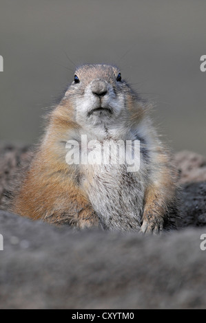 Black-tailed Prairie Dog (Cynomys ludovicianus), native to North America, in an enclosure, Thuringia, PublicGround - Stock Photo