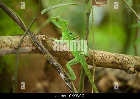 Plumed basilisk, Green basilisk, Double crested basilisk or Jesus Christ lizard (Basiliscus plumifrons), female - Stock Photo