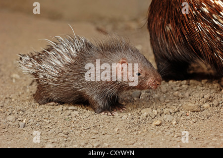 Indian crested porcupine (Hystrix indica, Hystrix leucura), young animal, native to the Middle East and India, captive - Stock Photo