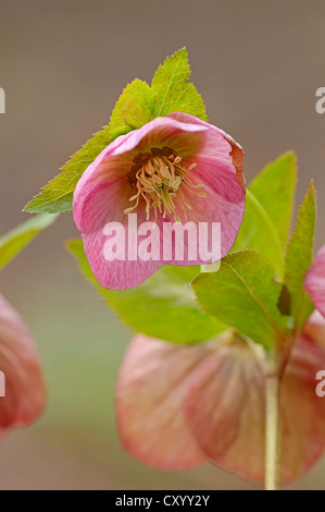 Christmas rose, black hellebore (Helleborus niger), blossom - Stock Photo