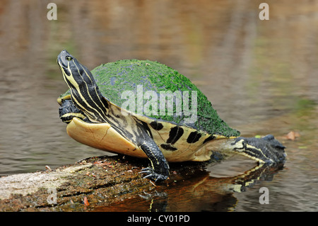 Florida Redbelly Turtle or Florida Red-bellied Cooter (Chrysemys nelsoni, Pseudemys nelsoni), Myakka River State - Stock Photo