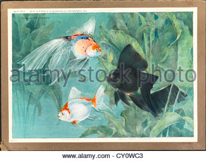 A scaleless fringetail, common fantail, and veiltail moor telescope. - Stock Photo