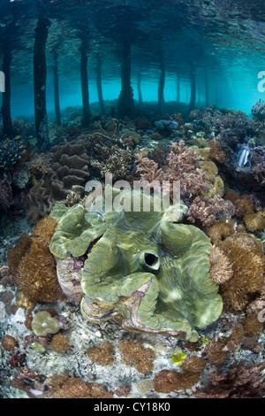 Giant Clam, Tridacna squamosa, Misool, West Papua, Indonesia - Stock Photo