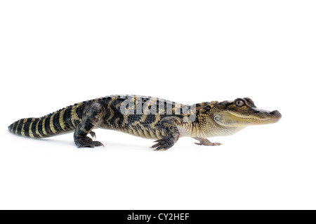 Young American Alligator on white background. - Stock Photo