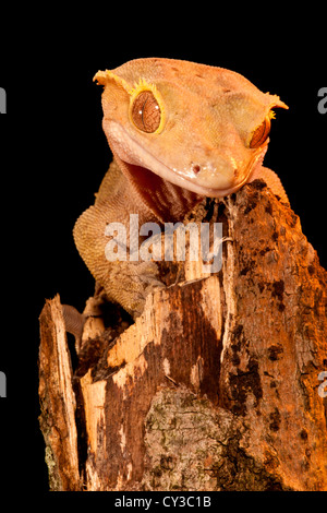 Crested Gecko, Rhacodactylus ciliatus, Native to New Caledonia - Stock Photo