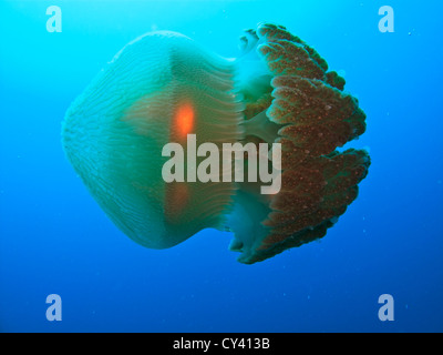 Closeup of Box jellyfish swimming on its side in the Coral Sea at the Great Barrier Reef  in Australia - Stock Photo