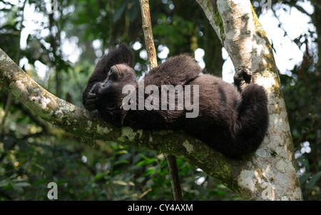 Mountain gorilla relaxing on a tree in the Bwindi Impenetrable Forest in Uganda. - Stock Photo