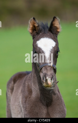 Black Foal head and neck in field . - Stock Photo