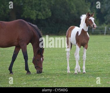 Coloured warmblood foal standing in field . - Stock Photo