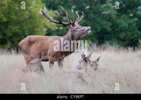 Red deer stag (Cervus elaphus) bellowing in the rain during rutting season, Richmond, England - Stock Photo