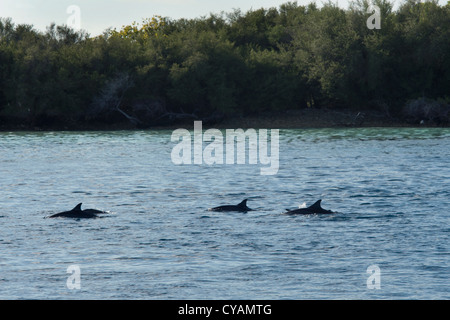 Hawaiian/Grays Spinner Dolphin, Stenella longirostris, group surfacing in front of island. Maldives, Indian Ocean. - Stock Photo