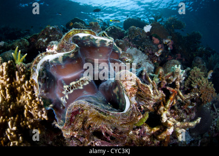 A giant clam, Tridacna squamosa, grows on a coral reef slope where it can filter food out of the water and capture - Stock Photo