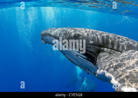 Humpback whales (Megaptera novaeangliae),  courtship behavior - Stock Photo