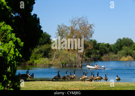 Lodi, inland from San Francisco, a small town in a wine growing area. Canada geese at Lodi Lakes park, with powered - Stock Photo