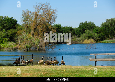 Lodi, inland from San Francisco, a small town in a wine growing area. Canada geese at Lodi Lakes park. - Stock Photo