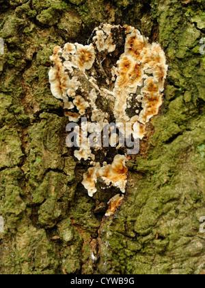 Bleeding Oak Crust Fungus, Stereum gausapatum - Stock Photo