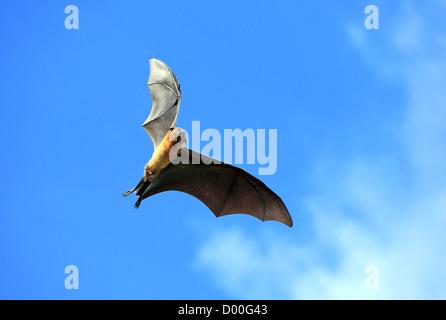 Fruit Bat or Flying Fox (Pteropus giganteus) flying in Tissamaharama, Sri Lanka - Stock Photo
