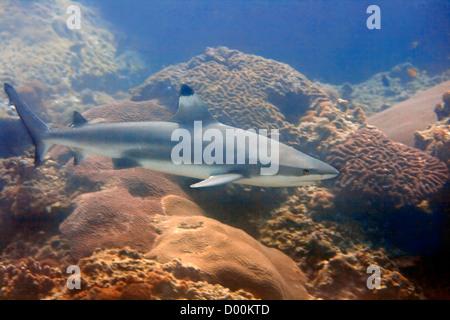 A blacktip reefshark at Palong divesite, Thailand - Stock Photo