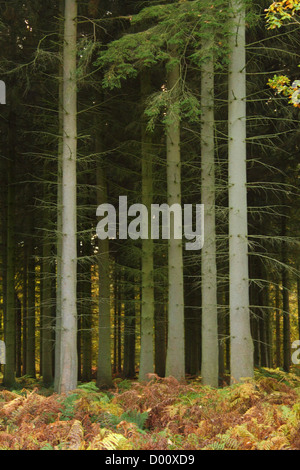 Pine trunks in dense shade - Stock Photo