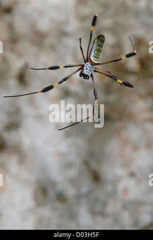A female Golden Orb Spider (Nephila clavipes) sitting in its web, awaiting prey. The brushes on its legs are clearly - Stock Photo