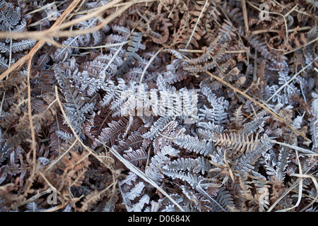 Winter Frost on Bracken - Stock Photo
