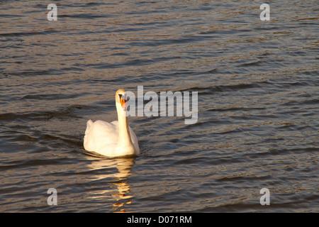 White swan on river, France, Europe. - Stock Photo