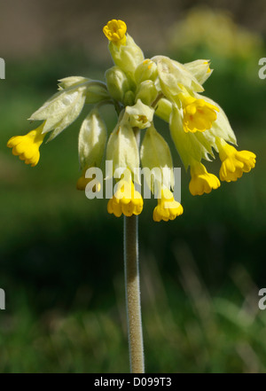 Flower head of cowslip (Primula veris). Bedgebury Forest, Kent, UK 17Apr10 - Stock Photo
