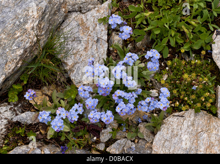 Alpine forget-me-not (Myosotis alpestris) in flower, French Alps - Stock Photo