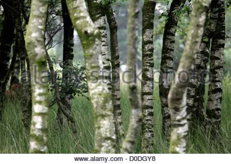 young silver birch trees with heathland grasses - Stock Photo