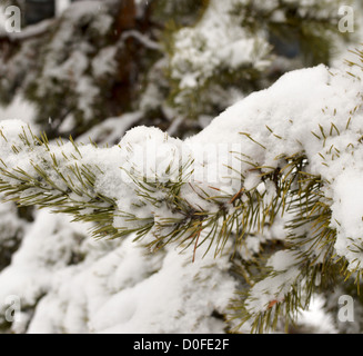 close up of pine in fresh snow - Stock Photo