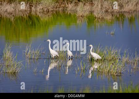 Three Snowy Egrets (Egretta thula) wading in water - Stock Photo