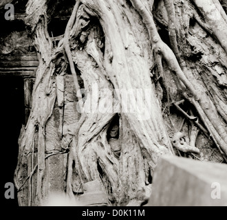 Travel Photography - Banyan Strangler Fig tree roots at the Temple of Ta Prohm Temples of Angkor in Cambodia in - Stock Photo
