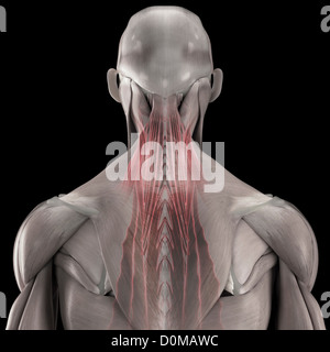 A human model showing the deep muscles of the back. - Stock Photo