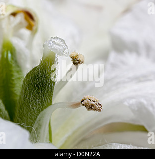 Stigma and anthers of Peruvian Lilly, Alstroemeria species, a flower commonly cut for sale in the UK - Stock Photo