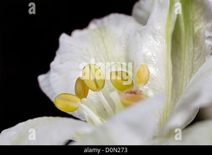 Anthers before opening to produce pollen in Peruvian Lilly, Alstroemeria species, a flower commonly cut for sale - Stock Photo