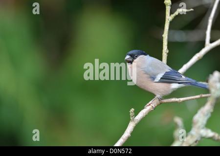 Eurasian Bullfinch - Northern Bullfinch - Common Bullfinch (Pyrrhula pyrrhula) female perched on a branch - Stock Photo