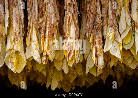 Row of tobacco leaves curing in a barn - Stock Photo