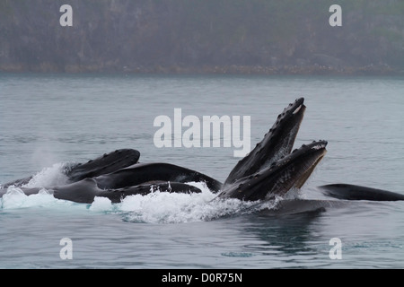Humpback Whales lunge feeding, Kenai Fjords National Park, near Seward, Alaska. - Stock Photo
