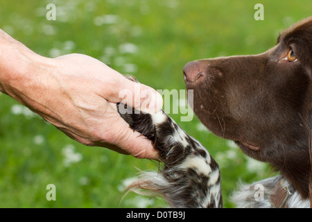 Small Münsterländer, dog, Münsterländer, educated, education, bringing up, dog education, dog school, paw, little - Stock Photo