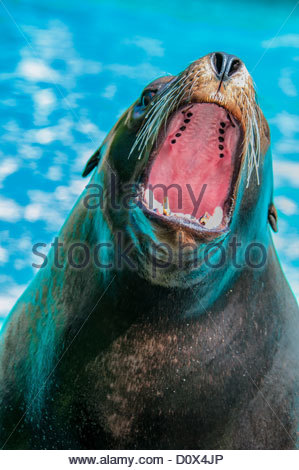 California Sea Lion, Zalophus californianus, with mouth wide open, Bronx Zoo, New York, USA - Stock Photo